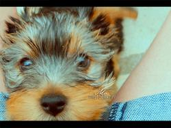 Chanel, chien Yorkshire Terrier