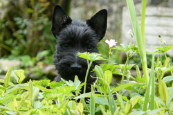 Chanel, chien Scottish Terrier