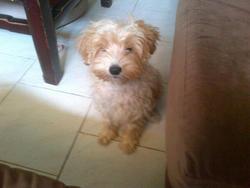 Chanel, chien Caniche