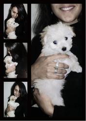 Chanel, chien Bichon maltais