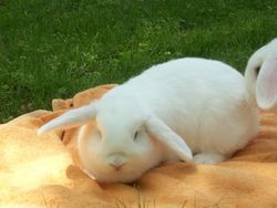 Chanel, rongeur Lapin