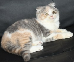 Chanel, chat Scottish Fold