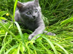Chanel, chat Chartreux