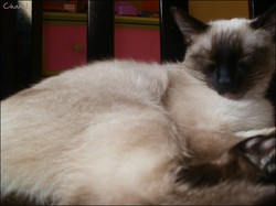 Chanel, chat Birman