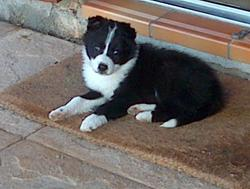 Chanel, chien Border Collie