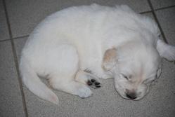 Chanel, chien Golden Retriever