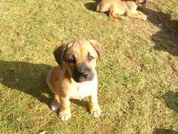 Chanel, chien Boxer