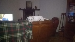 Chanel, chien Jack Russell Terrier