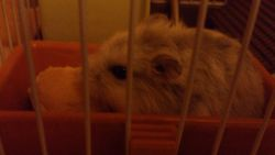 Chanel, rongeur Hamster
