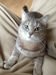 Chanel, chat American Shorthair