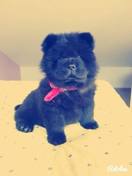 Chanel, chien Chow-Chow