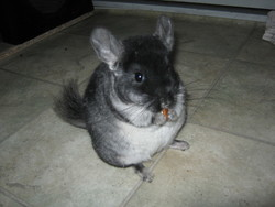 Chanel, rongeur Chinchilla