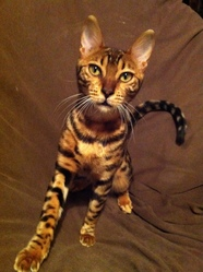 Chanel, chat Bengal