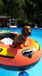 Chanel, chien Teckel