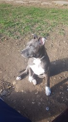 Chanel, chiot American Staffordshire Terrier