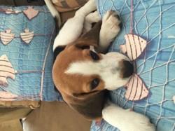 Chanel, chien Beagle
