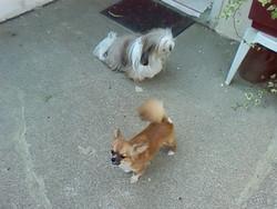 Chanel, chien Chihuahua