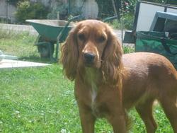 Chanele, chien Cocker anglais