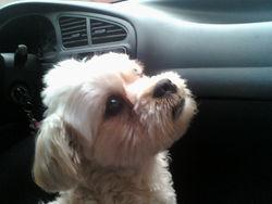 Chaneli, chien Shih Tzu