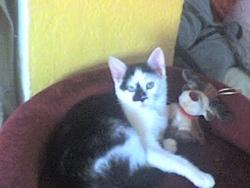 Chanelle, chat Gouttière