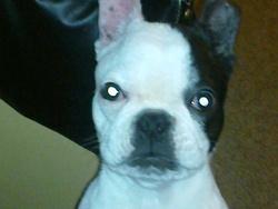Chanelle, chien Bouledogue français