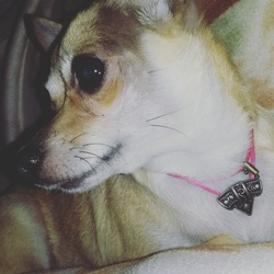 Chanelle, chien Chihuahua