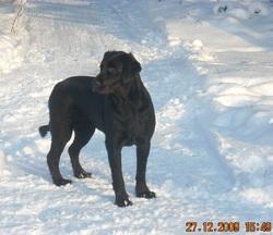 Chanelle, chien Labrador Retriever