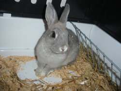 Chanelle, rongeur Lapin