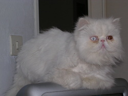 Chanelle, chat Persan