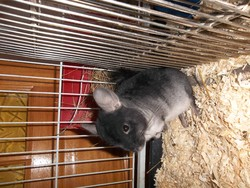 Chanelle, rongeur Chinchilla