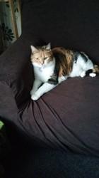 Chanelle, chat Européen