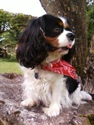 Chaneyze, chien Cavalier King Charles Spaniel