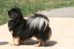 Changa, chien Épagneul tibétain