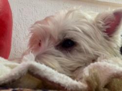 Chanel, chien West Highland White Terrier