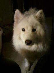 Channa, chien Samoyède