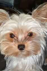 Channel, chien Yorkshire Terrier