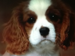 Channel, chien Cavalier King Charles Spaniel