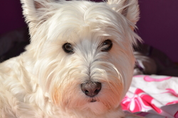 Channel, chien West Highland White Terrier