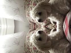Channel, chien Bichon maltais