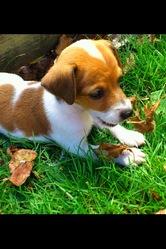 Chànnél, chien Fox-Terrier