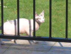 Channell, chat Sphynx