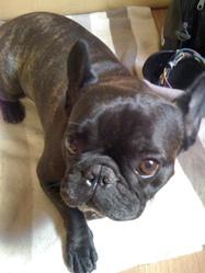 Channy, chien Bouledogue français