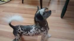 Channy, chien Chien chinois à crête