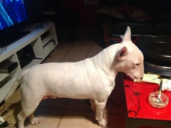 Chansi, chien Bull Terrier