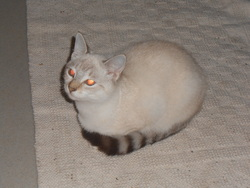 Chantilly, chat Siamois