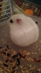 Chantilly, rongeur Hamster