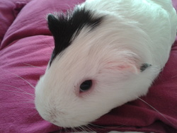 Chantilly, rongeur Cochon d'Inde