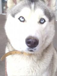 Chapeau, chien Husky sibérien