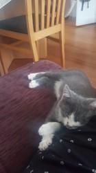 Chaplin, chaton Gouttière