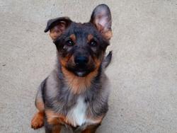 Chappy, chien Berger australien